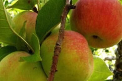 Clashganny Organic Apples